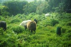 在山的绵羊在马德拉岛的海岛的北部 免版税库存照片