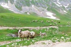 在山的绵羊 免版税库存图片