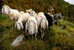 在山的绵羊 库存照片