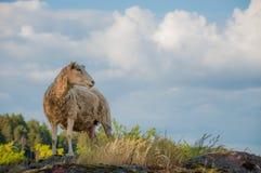 在山的绵羊 免版税库存照片