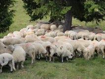 在山的绵羊 股票录像