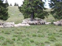 在山的绵羊 影视素材