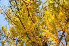 在山的黄色落叶松属树 库存图片