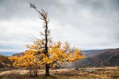 在山的黄色落叶松属树 免版税库存照片