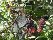 在山的黑莓 图库摄影