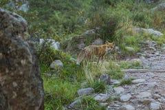 在山的Fox 库存图片