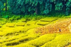 在山的Ricefield清莱在泰国 免版税库存照片