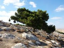 在山端的杉树 免版税库存图片