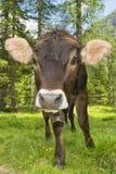 在山背景的一头母牛 免版税库存图片