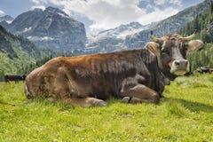 在山背景的一头母牛 图库摄影