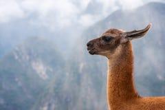 在山背景的喇嘛的画象在秘鲁 免版税库存照片