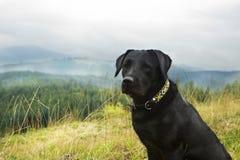在山背景的幼小公黑拉布拉多猎犬  免版税库存图片