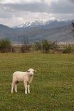 在山背景的幼小绵羊 免版税图库摄影