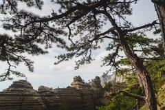 在山背景的杉木  库存图片