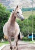 在山背景的走的美丽的阿拉伯小雌马 免版税库存图片