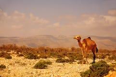 在山背景的骆驼  免版税库存图片