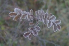 在山脉灰一个小分支的冻叶子与霜露水的对此 库存照片