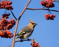 在山脉灰树的太平鸟 库存照片