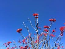 在山脉灰树的红色莓果 免版税库存图片