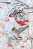 在山脉灰的太平鸟 库存照片