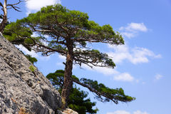 在山腰的克里米亚半岛杉木 黑海的风景 免版税库存图片