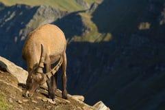 在山腰的公高地山羊 免版税库存图片