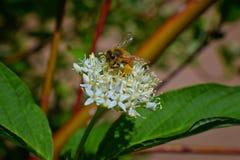 在山茱萸萸肉山茱萸科的蜂收集花蜜的蜂蜜和花粉在村庄庭院里开花开花特写镜头宏观视图在犹他 免版税库存图片