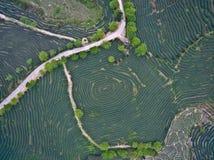 在山茶园风景顶部的航拍 免版税图库摄影