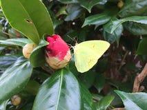 在山茶花芽的黄色飞蛾 库存照片