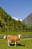 在山草甸的两头母牛 库存照片