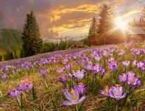 在山草甸的壮观的日落有美丽的开花的紫色番红花的 库存照片