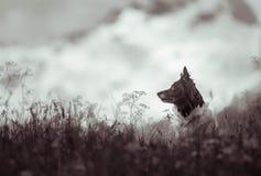 在山草甸的狗 库存照片