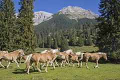 在山草甸的Haflinger马 免版税库存图片