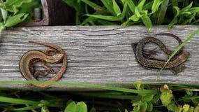 在山行迹的蜥蜴 库存图片