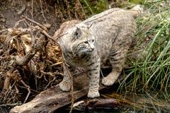 在山设置的狂放的美洲野猫 库存图片