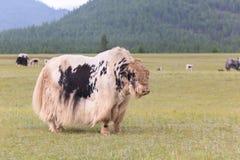 在山谷吃草的牦牛。 免版税库存照片