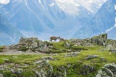 在山边缘的两只高山山羊,登上比亚恩科,阿尔卑斯,意大利 库存图片