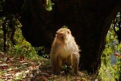 在山边缘的喜马拉雅猴子 库存照片