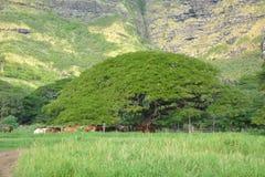 在山附近的大树。夏威夷 图库摄影