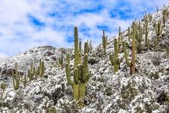 在山雪场面的柱仙人掌仙人掌 斯诺伊仙人掌沙漠风景 图库摄影