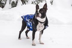 在山雪的波士顿狗佩带的外套 库存照片