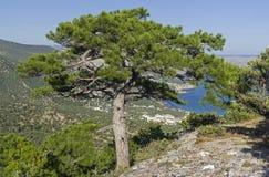 在山顶部的一棵大寡妇杉木 免版税库存图片