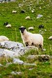 在山领域的绵羊 库存照片