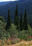 在山风景的年轻针叶树树 免版税库存图片