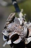 在山龙眼锥体的澳大利亚当地Jacky龙蜥蜴 库存图片