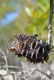 在山龙眼锥体的澳大利亚当地Jacky龙蜥蜴 图库摄影