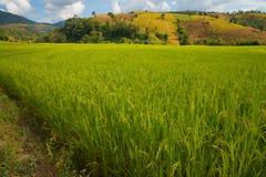 在山, Chiangmai泰国的露台的米 免版税库存图片