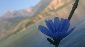 在山charvak乌兹别克斯坦的蓝色花 库存照片