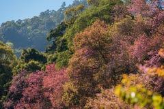 在山Khun张Kian清迈,泰国的樱花树 免版税库存图片