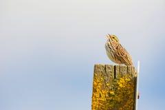 在岗位唱歌顶部的Copyspace小的鸟 免版税库存照片